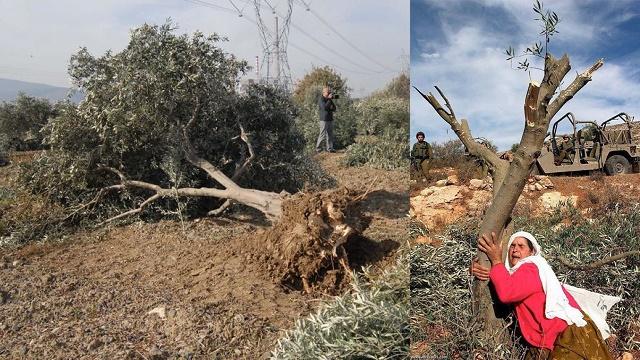Yırca'da ağaçlar boşuna kesilmiş: Termik santral..